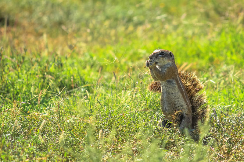 African squirrel eating royalty free stock photos