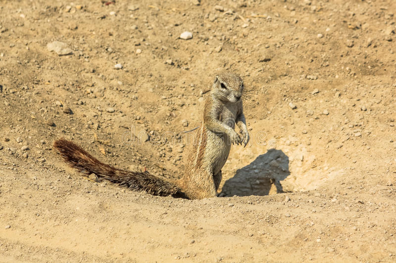 African squirrel at Etosha stock images