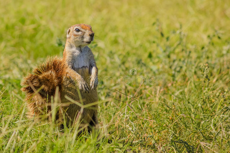 African squirrel South Africa royalty free stock photography