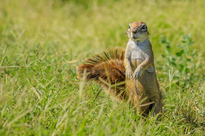 African squirrel South Africa royalty free stock photos