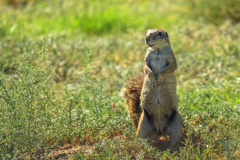 The African squirrel royalty free stock images