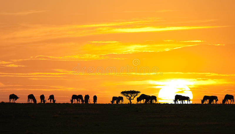 African sunrise. Silhouettes of wildebeests and acacia tree on sunrise in Serengeti national park, Tanzania