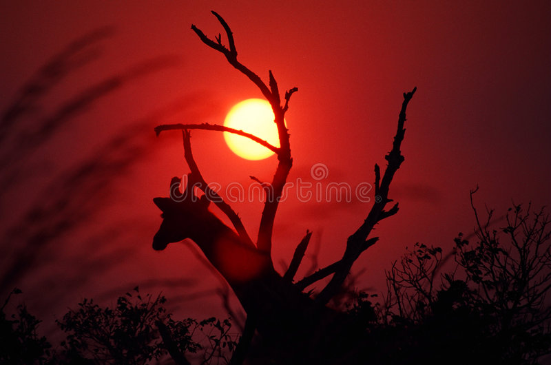 African Sunset. An African sunset in Mikumi, Tanzania. Smoke from a forest fire provided a natural filter for the sun. The giraffe head branching out from the