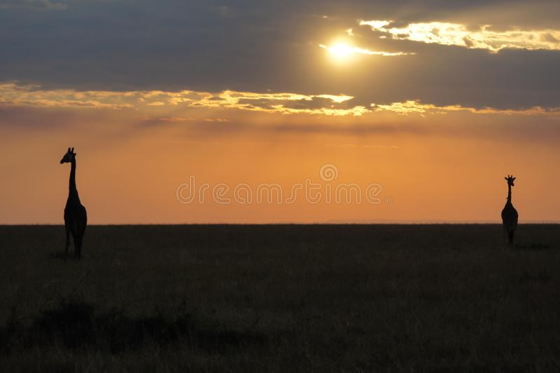 African sunset with silhouette of two wild giraffes stock images