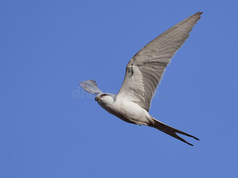 African swallow-tailed kite Chelictinia riocourii royalty free stock image
