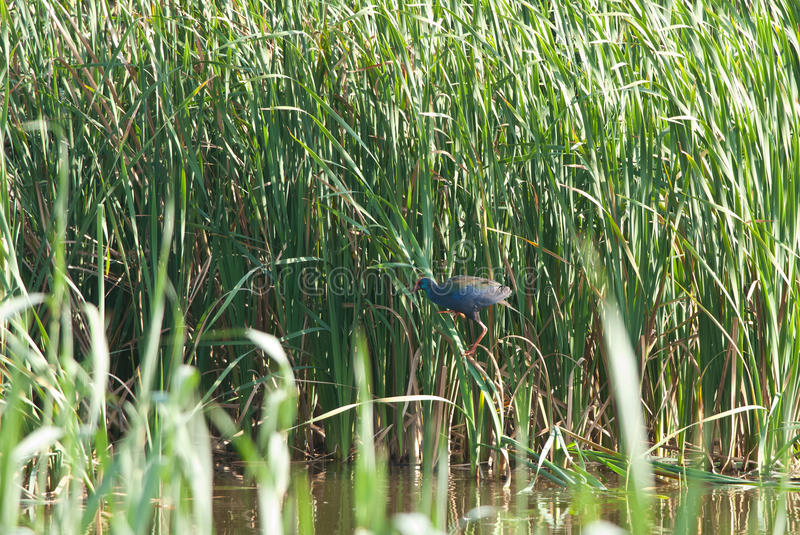 African Swamphen royalty free stock image