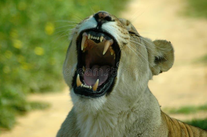 African teeth royalty free stock image