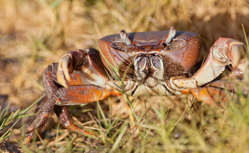 African terrestrial Crab. A Land Crab's close-up at the Sabaki River nature reserve in coastal Kenya royalty free stock photography