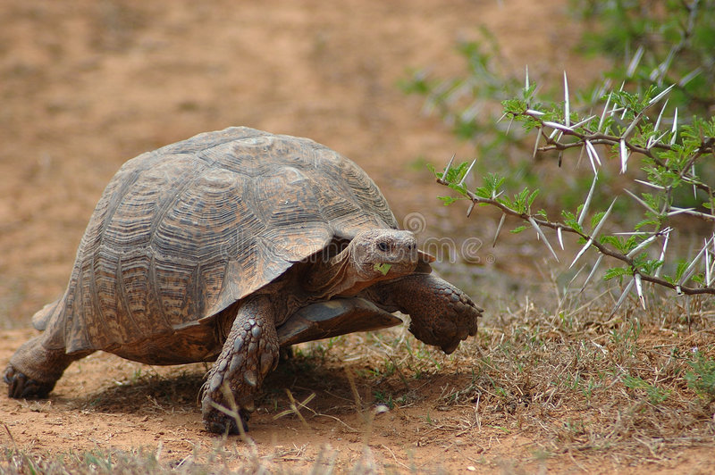 African tortoise. An active moving Mountain Tortoise - Bergskilpad - Geochelone Pardalis - with beautiful expression in the face feeding, walking and watching