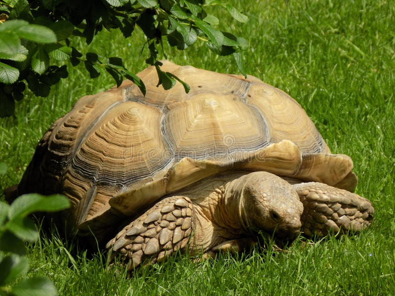 African tortoise. Sunbathing and posing for the camera royalty free stock photography