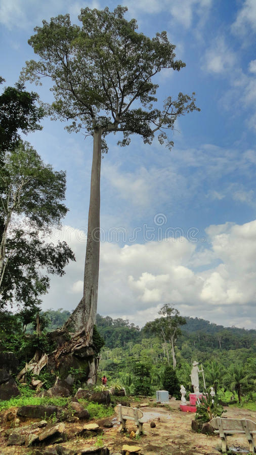 An african tree in the forest royalty free stock photo