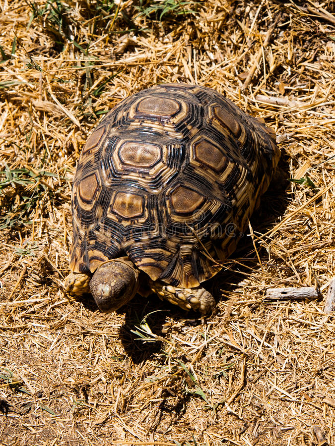 African turtle. In the dry grassland royalty free stock images