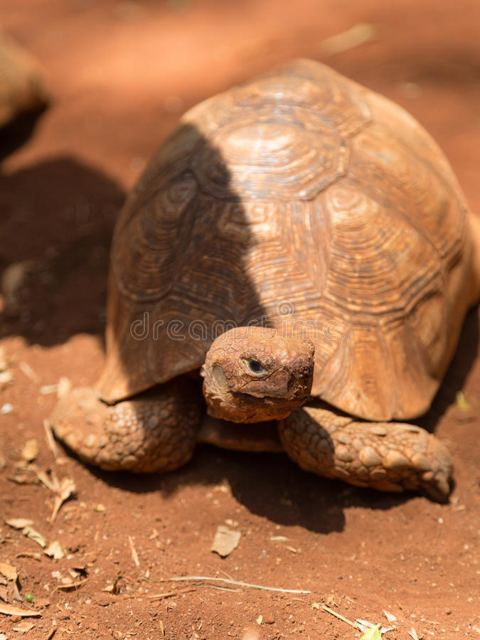 African turtle looking up. An african turtle looking up at the photographer stock photography