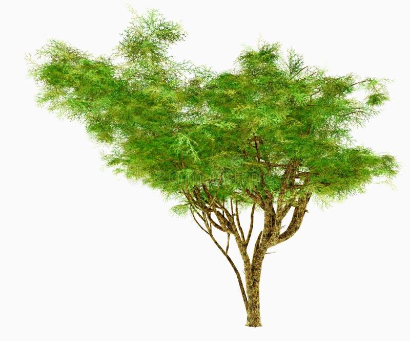 African Umbrella Acacia Tree royalty free stock images