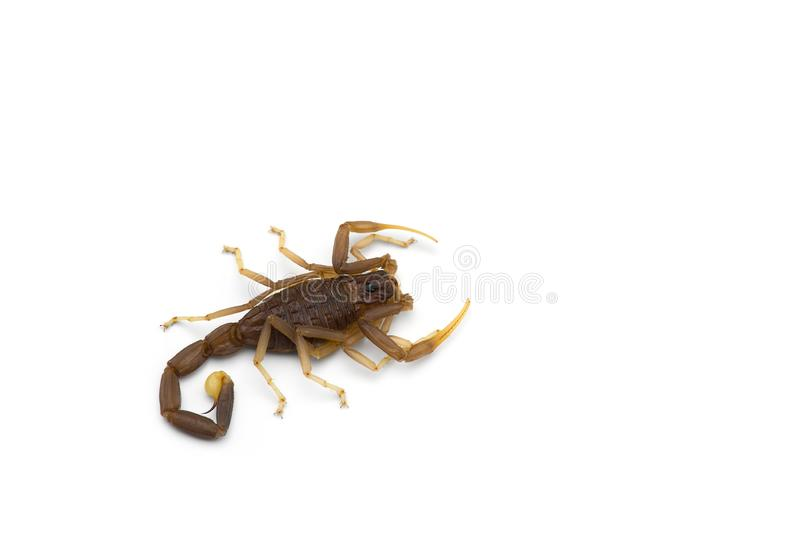 African venom Scorpion isolated on white background. African venom Scorpion isolated on white stock images