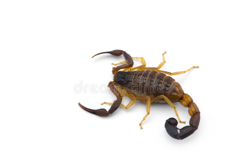 African venom Scorpion isolated on white background. African venom Scorpion isolated on white royalty free stock images