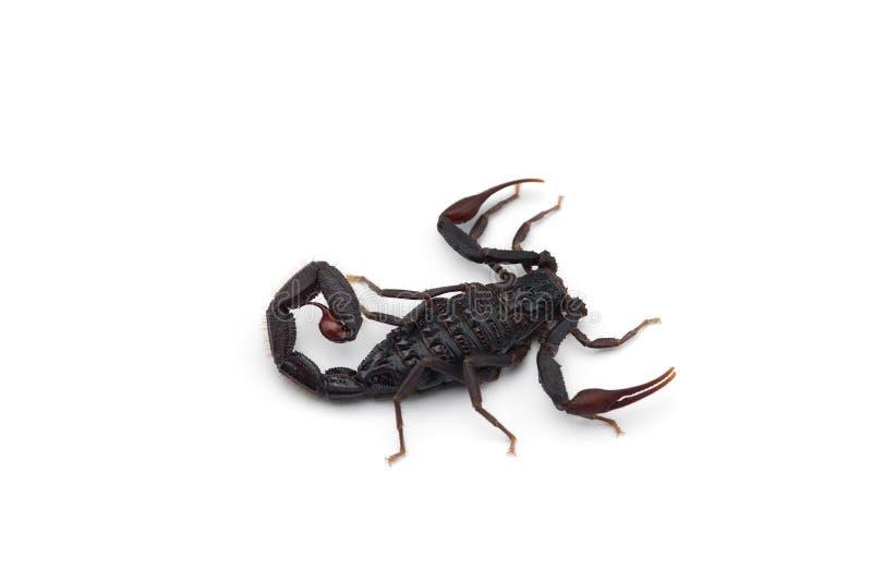 African venom Scorpion isolated on white background. African venom Scorpion isolated on white stock photo