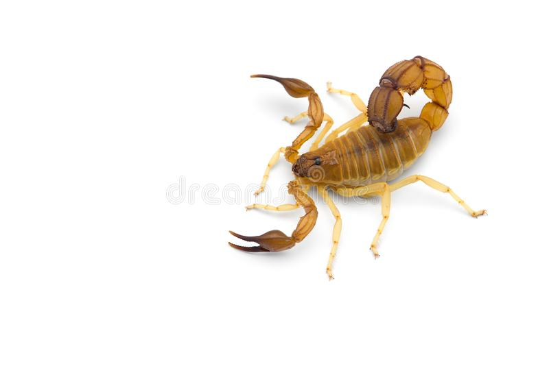African venom Scorpion isolated on white background. African venom Scorpion isolated on white royalty free stock image