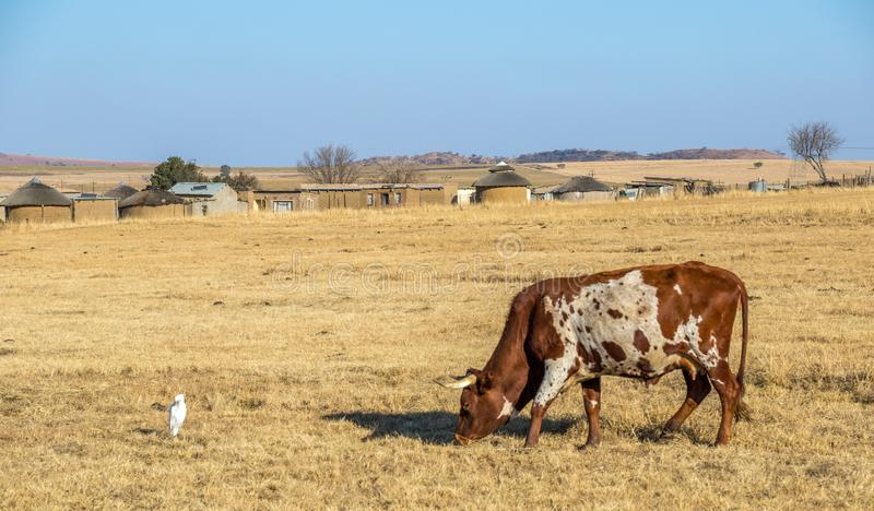 African village with Nguni cow feeding on winter grass. Traditional African landscape scene with a feeding Nguni cow and a small village with mud huts in the stock photography