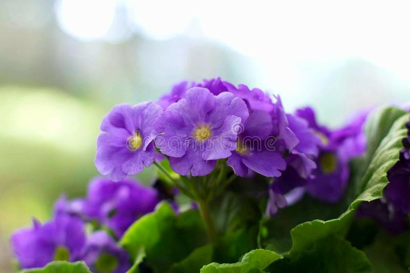 3 african viole стоковое фото rf