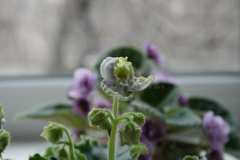 African violet begins to bloom. African violet is perfect indoor plant. Beautiful flower stock image