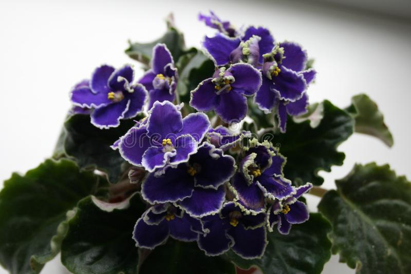 African violet begins to bloom. African violet is perfect indoor plant. Beautiful flower. African violet blooms. African violet is perfect indoor plant stock image