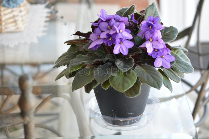 African Violet flowering indoor plant in bloom. African violets are easy indoor plant to grow. They have lovely colorful flowers stock photos