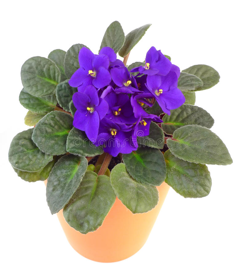 African violet in flowerpot stock images