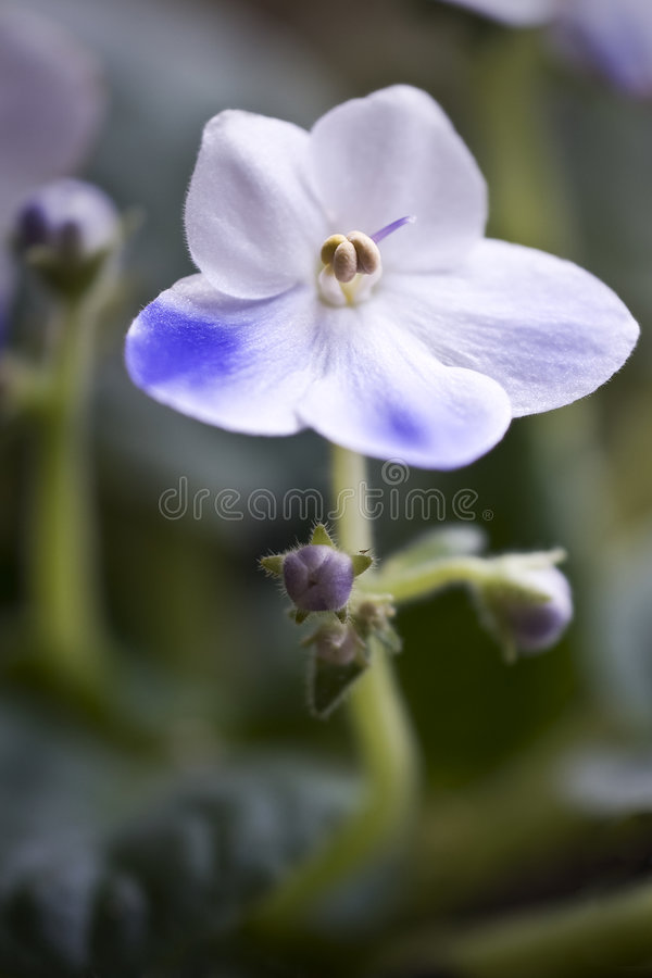 African Violet Macro with Buds royalty free stock images