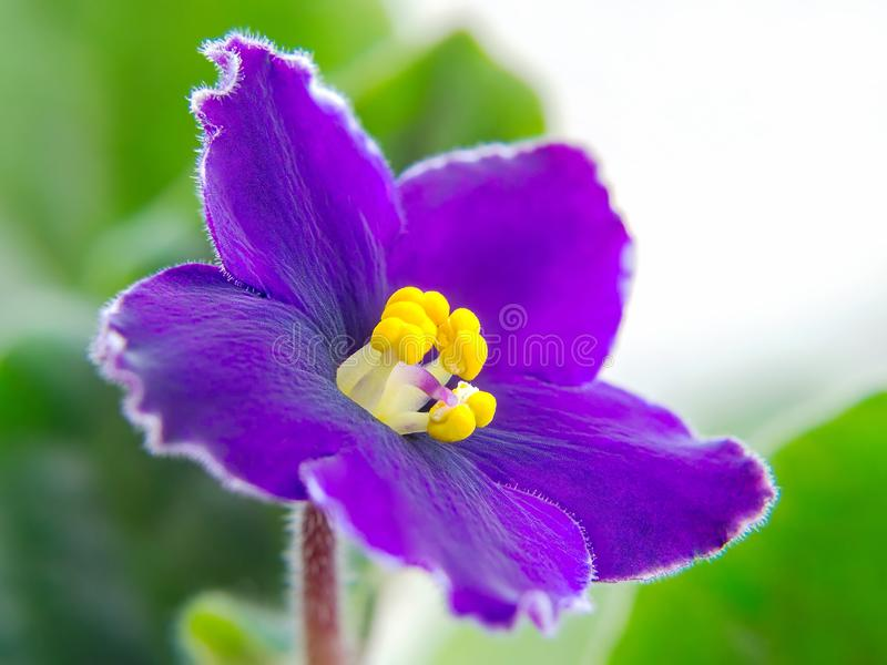 African violet purple flower with pestle and stamens on a green leaves background. Macrophotography of blooming Saintpaulia. royalty free stock photography