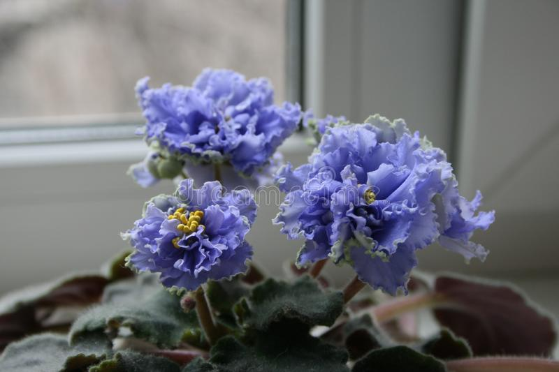 African Violet Ruffled Skies. Beautiful flower. African violet begins to bloom. African violet is perfect indoor plant. Beautiful flower royalty free stock image