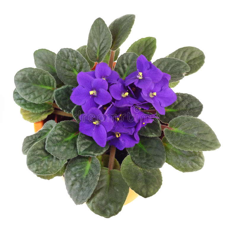 African violet saintpaulia royalty free stock photography