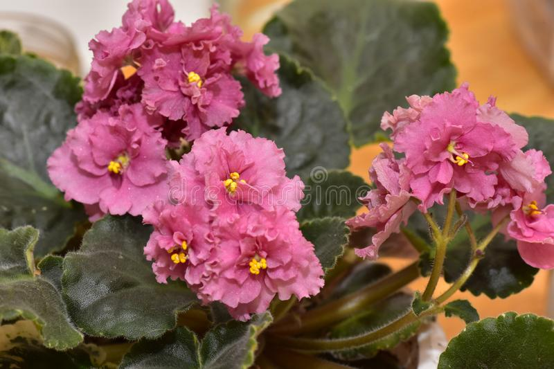 African Violet, Saintpaulia with pink flowers stock photos