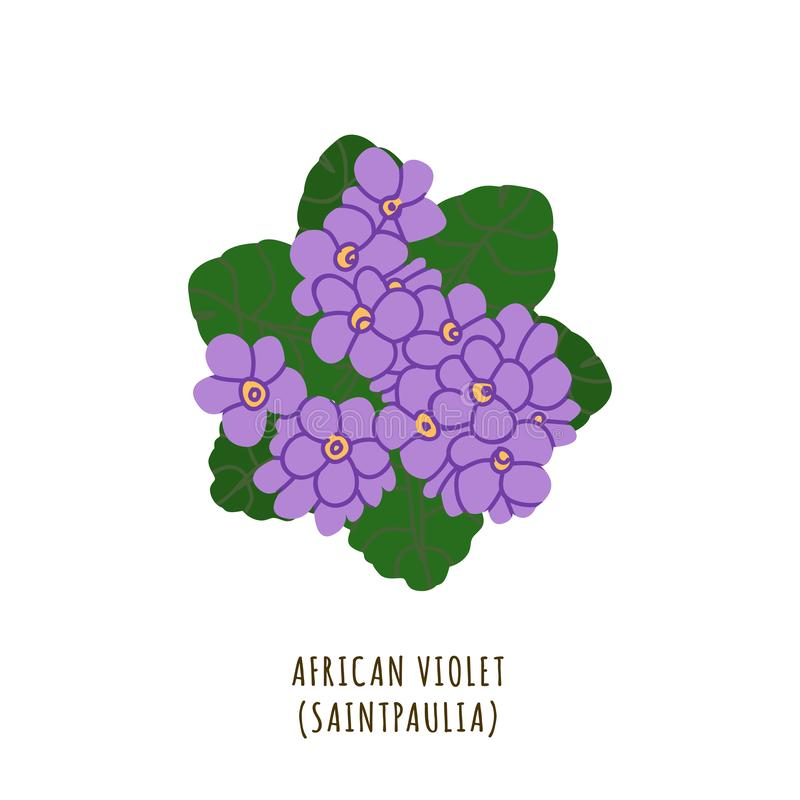 African violet tropical flower. African violet flat vector botanical illustration. Hand drawing of exotic, tropical flower. Isolated plant clipart with royalty free illustration