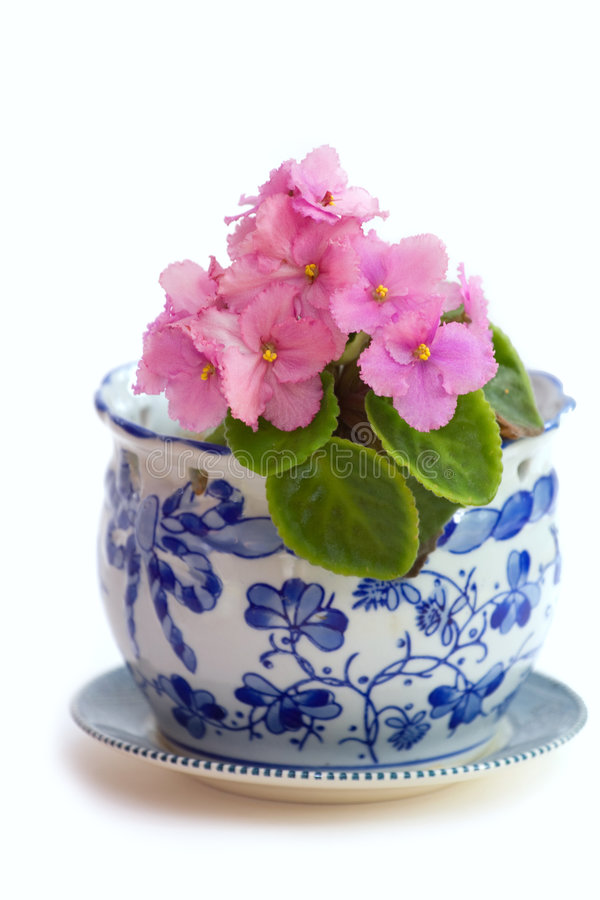 Free African Violets Stock Photography - 2528372