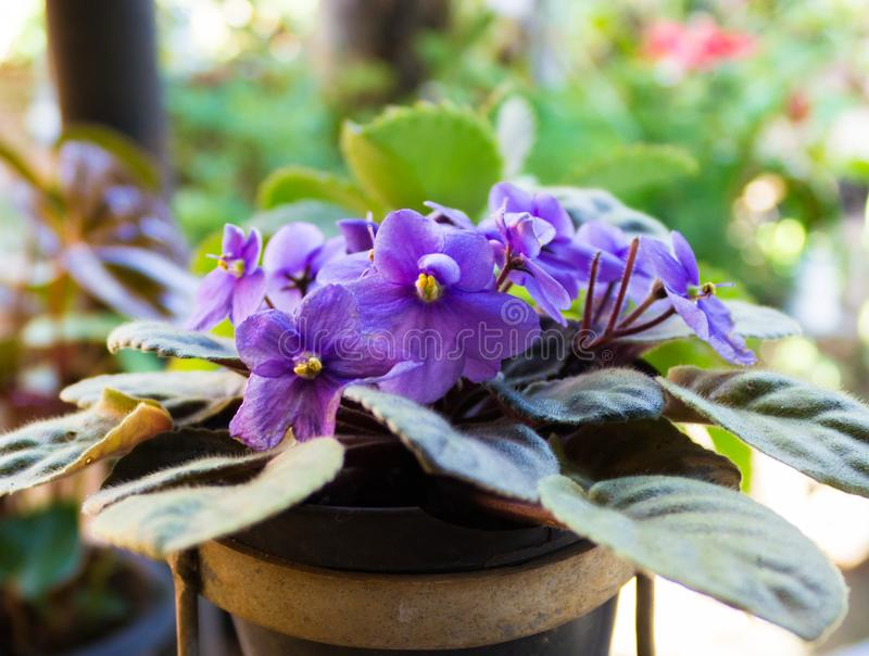 African violets (Saintpaulia), closeup of this beautifully colored purple flower royalty free stock photography