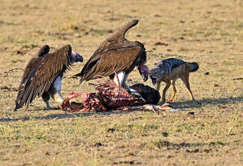 African Vulture stock photos