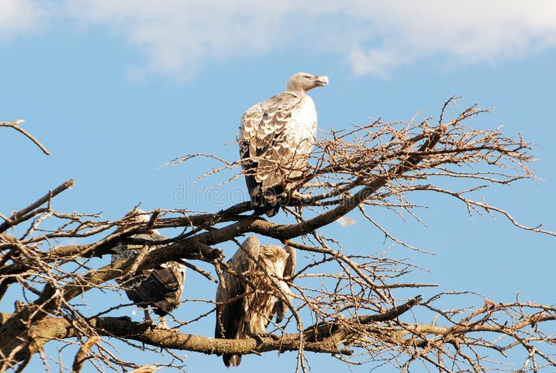 African vultures sitting in a tree Serengeti National Park Tanzania. African vultures (Ruppell's Griffon Vulture or Ruppell's Vulture?) sitting in a tree royalty free stock image