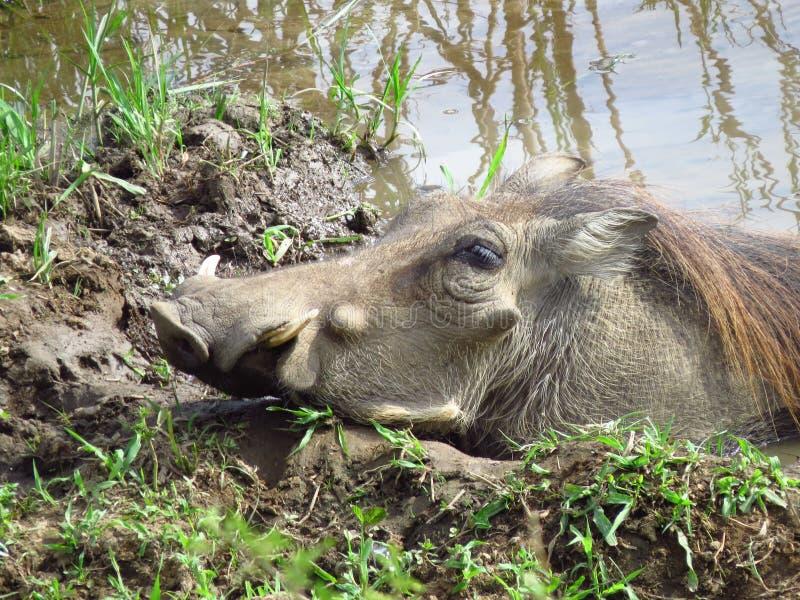 African Warthog in Mud stock photo