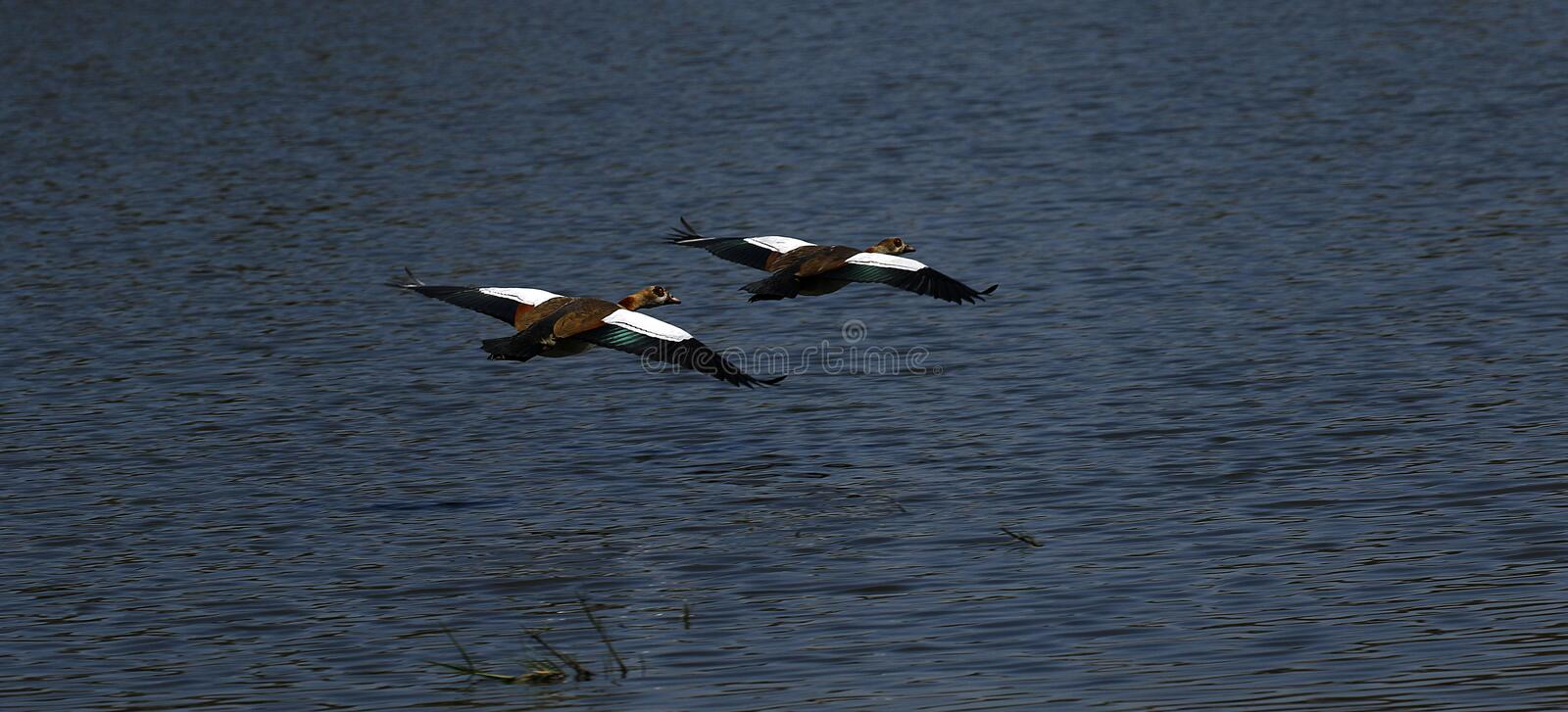African Water Birds, Egyptian gees flying away stock images