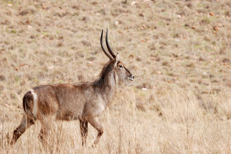 African Waterbuck Antelope royalty free stock photography