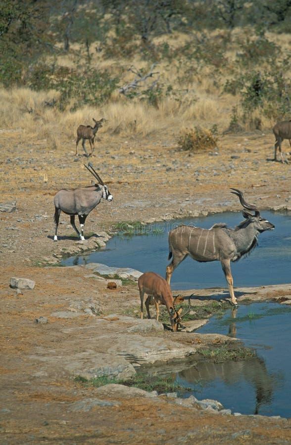 Download African Waterhole stock image. Image of etosha, oryx, watching - 4180553