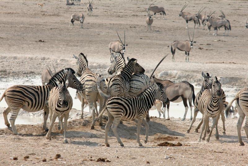 African Waterhole Action stock image