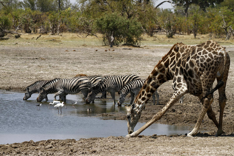 African Watering Hole Classic Scene stock image