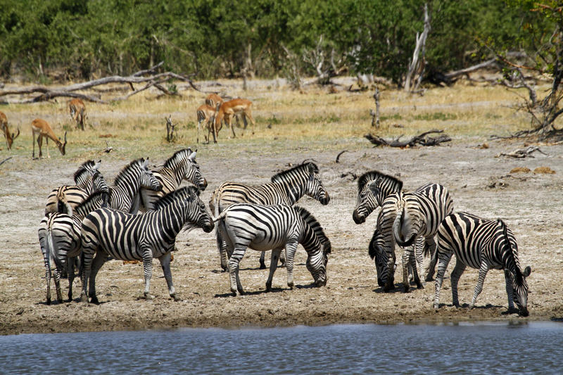 African Watering Hole Safari Highlights stock images