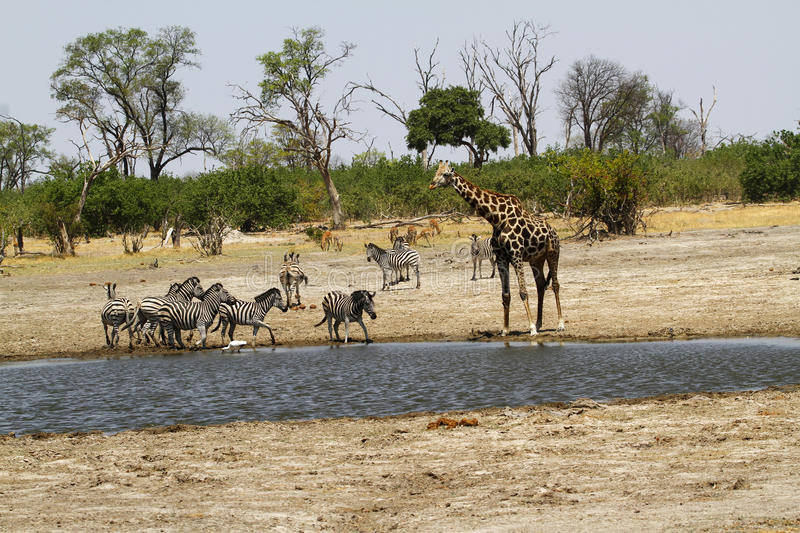 Download African Watering Hole Safari Highlights Stock Image - Image: 42844755