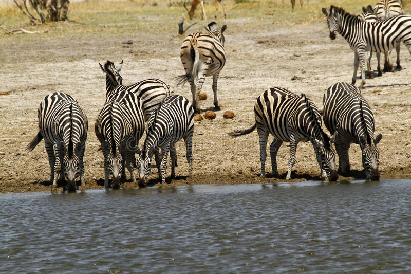 Download African Watering Hole Safari Highlights Stock Image - Image: 42844961