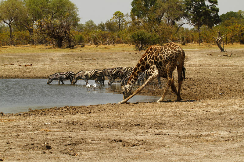 African Watering Hole Safari Highlights. Zebra & Giraffe together at the waterhole with Spoonbills & Blacksmiths Plovers stock images