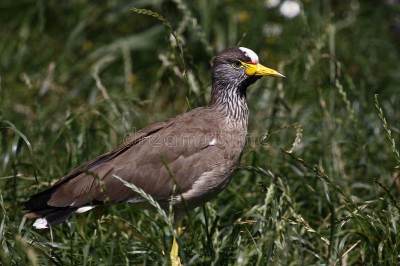 African wattled lapwing stock photography