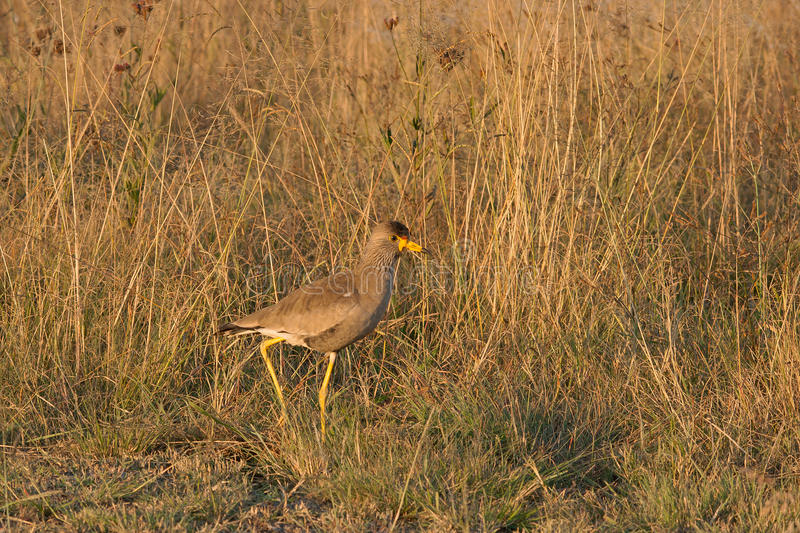 AFRICAN WATTLED LAPWING stock image
